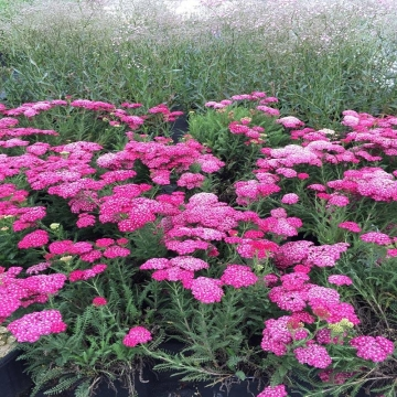 Achillea millefolium'Saucy Seduction'