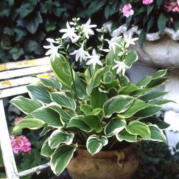 Hosta'So Sweet'