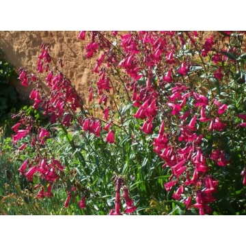Penstemon'Garnet'