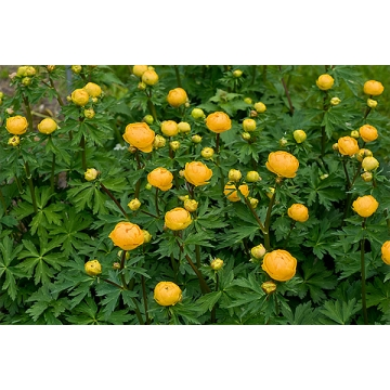 Trollius'Orange Princess'
