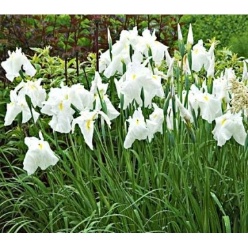 Iris ensata'White Ladies'