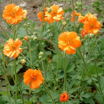 Geum chiloense'Dolly North'