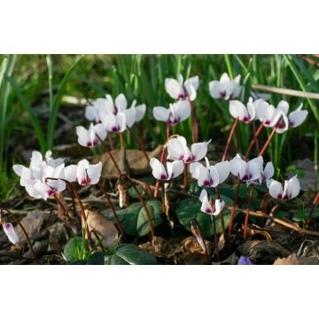 Cyclamen coum'Album'