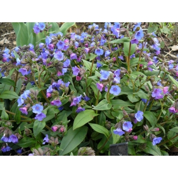 Pulmonaria angustifolia'Blue Ensign'