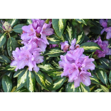 Rhododendron'Goldfinger'