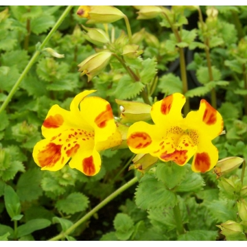 Mimulus'Bees Major'