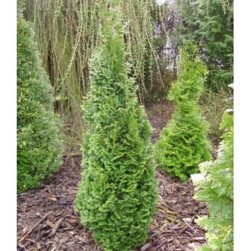 Thuja occidentalis'Brobeck's Tower'