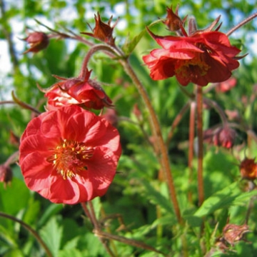 Geum rivale'Flames of Passion'