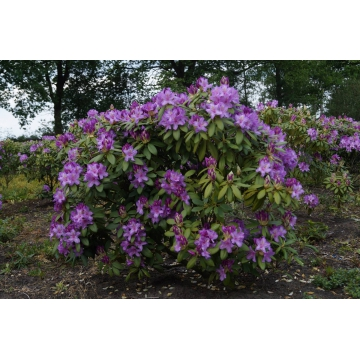 Rhododendron'Catawbiense Boursault'