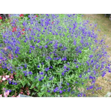 Salvia greggii'Blue Note'