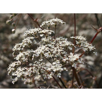 Anthriscus sylvestris'Ravenswing'