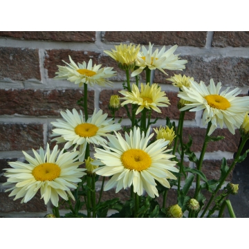Leucanthemum'Broadway Lights'