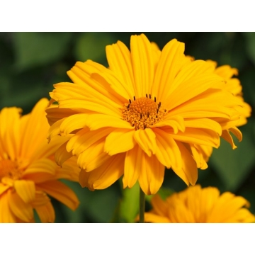 Heliopsis'Sweet Sunshine'
