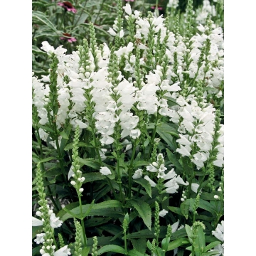 Physostegia virginiana'Miss Manners'