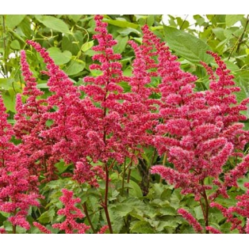 Astilbe arendsii'Alive and Kicking'