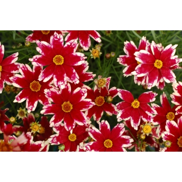 Coreopsis'Ruby Frost'