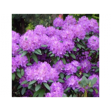 Rhododendron'Alfred'