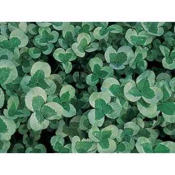 Trifolium repens'Green Ice'
