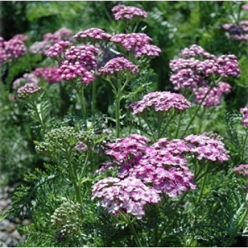Achillea millefolium'Wonderful Wampee'