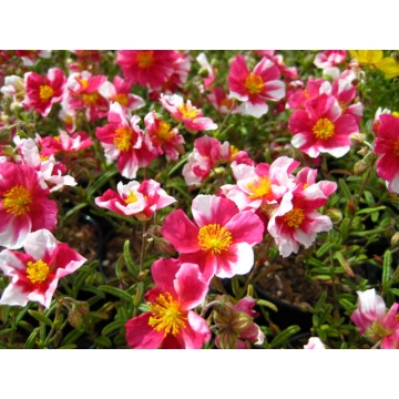 Helianthemum hybride'Raspberry Ripple'