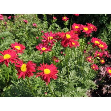Tanacetum'Robinson's Red'