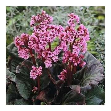 Bergenia cordifolia'Magic Giant'