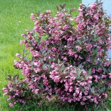 Weigelia florida'Nana Purpurea'