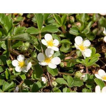 Fragaria chiloensis'Chaval'