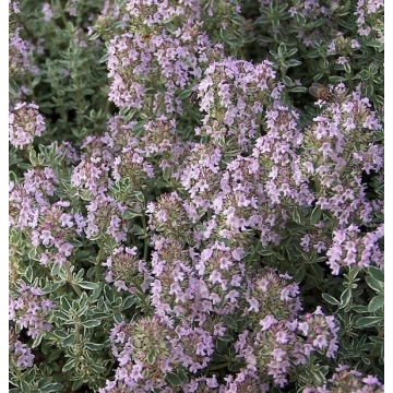 Thymus citriodorus'Silver Queen'