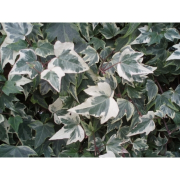 Hedera helix'White Ripple'