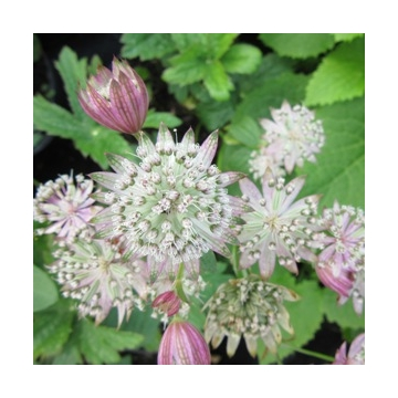 Astrantia major'Canneman'