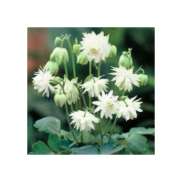 Aquilegia'Green Apple'