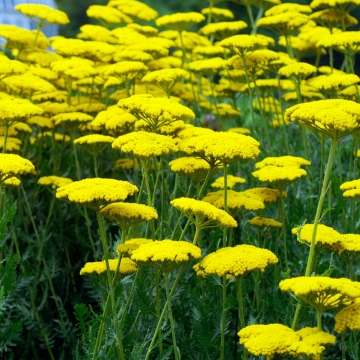 Achillea'Coronation Gold'