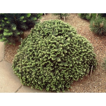 Abies koreana'Cis'