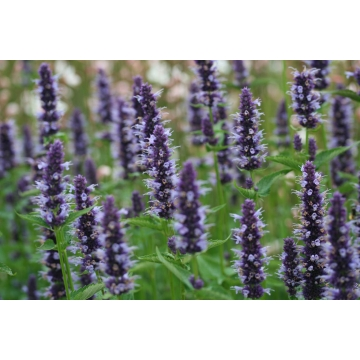 Agastache'Black Adder'