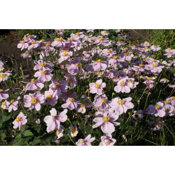 Anemone hybrida'Loreley'