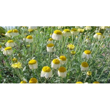 Anthemis hybrida'Sauce Hollandaise'