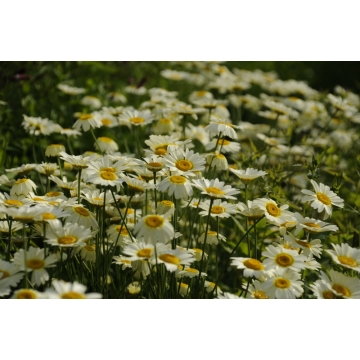 Anthemis tinctoria'Lemon Ice'