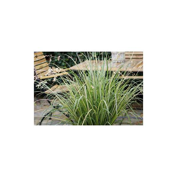 Anthericum'Starlight'