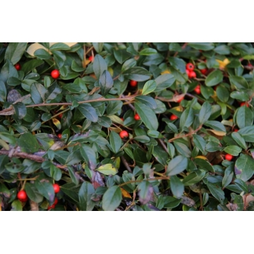 Cotoneaster dammeri'Major'