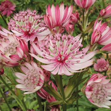 Astrantia major'Sparkling Stars Pink'