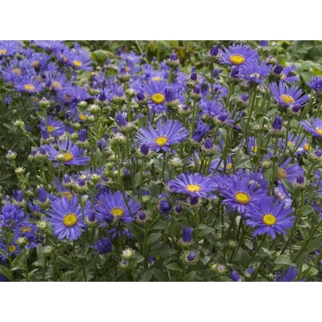 Aster amellus'Blue King'