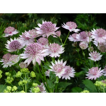 Astrantia major'Buckland'