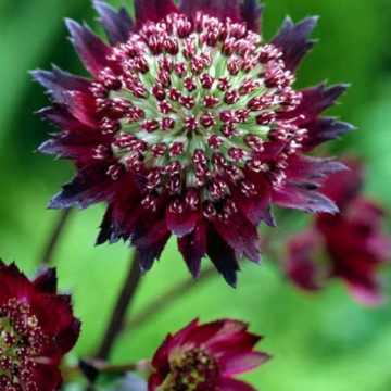 Astrantia major'Moulin Rouge'