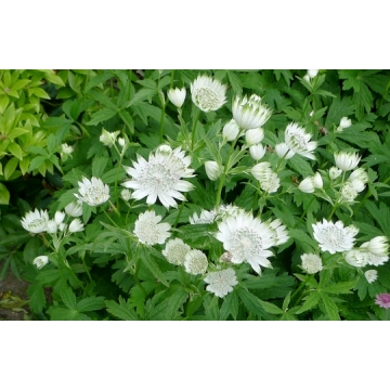 Astrantia major'Alba'