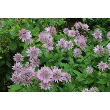 Astrantia major'Florence'