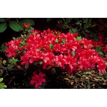 Azalea japonica'Excelsior'