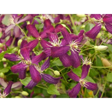Clematis flammula'Sweet Summer Love'