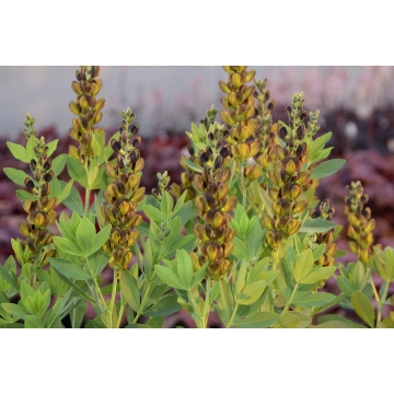 Baptisia'Brownie Points'