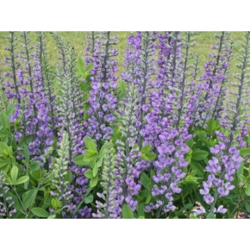 Baptisia'Blue Towers'